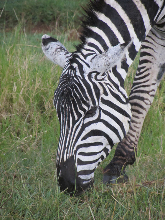Burchell's Zebra © 2018 Linda Fleischman | All Rights Reserved