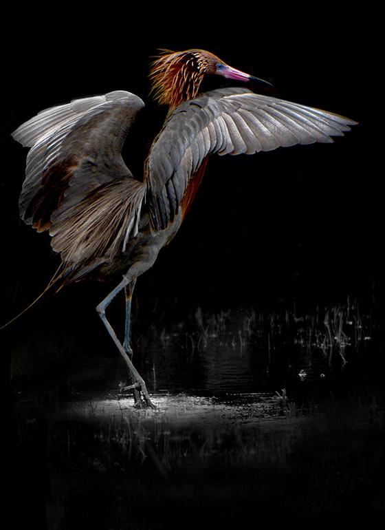 Reddish Egret Dancer © 2018 Mary Ann Caffery | All Rights Reserved