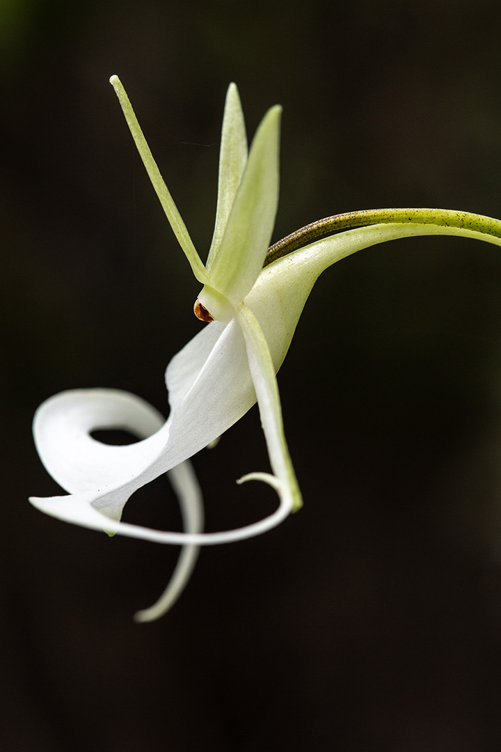 Ghost Orchid © 2018 Kirsten Hines | All Rights Reserved