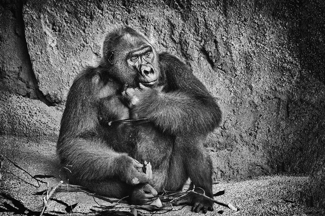 Gorilla Pondering His Fate © 2018 Marvin Basil   All Rights Reserved