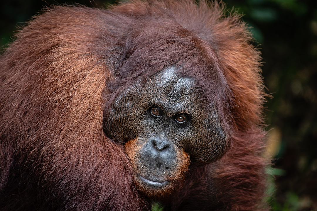 Orang-Utan, Person of the Forest © 2019 Glenn Bilek | All Rights Reserved
