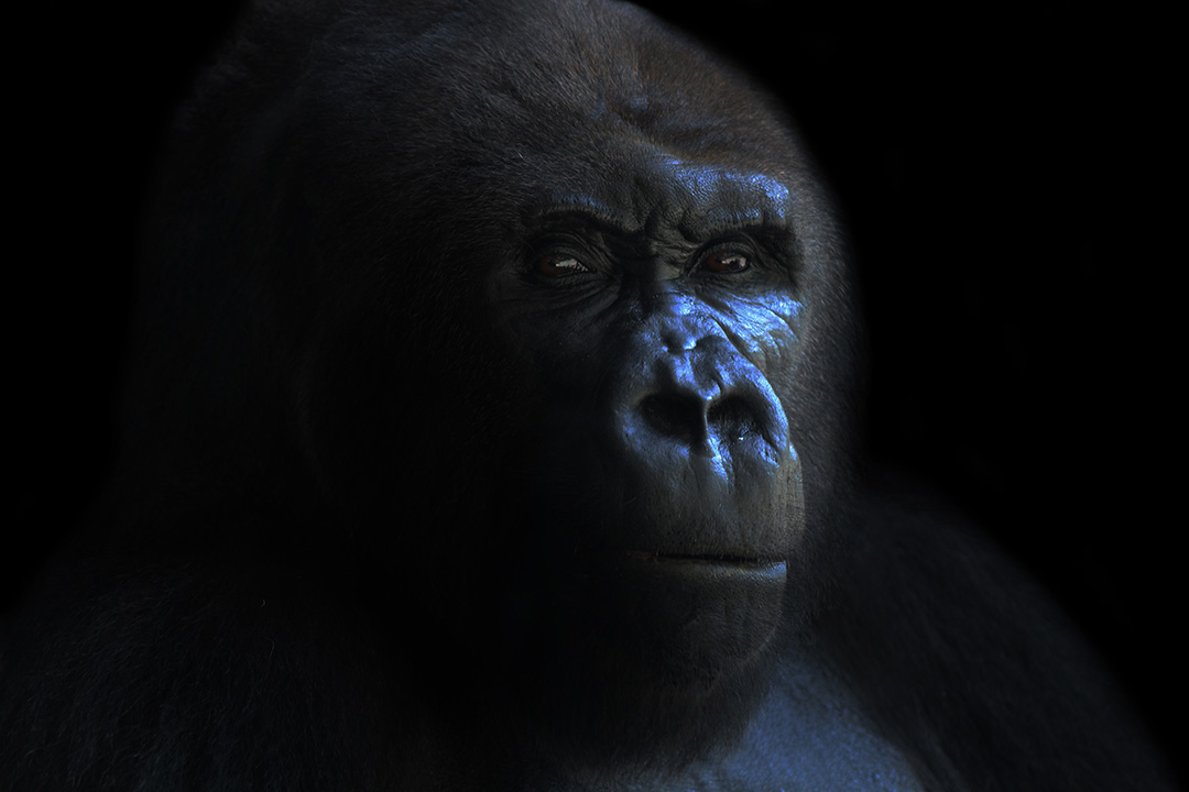 The Silverback © 2019 Gavin Minard   All Rights Reserved