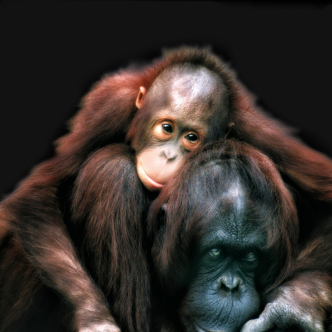 Bornean Orangutan © 2019 Virginia Aschmoneit   All Rights Reserved