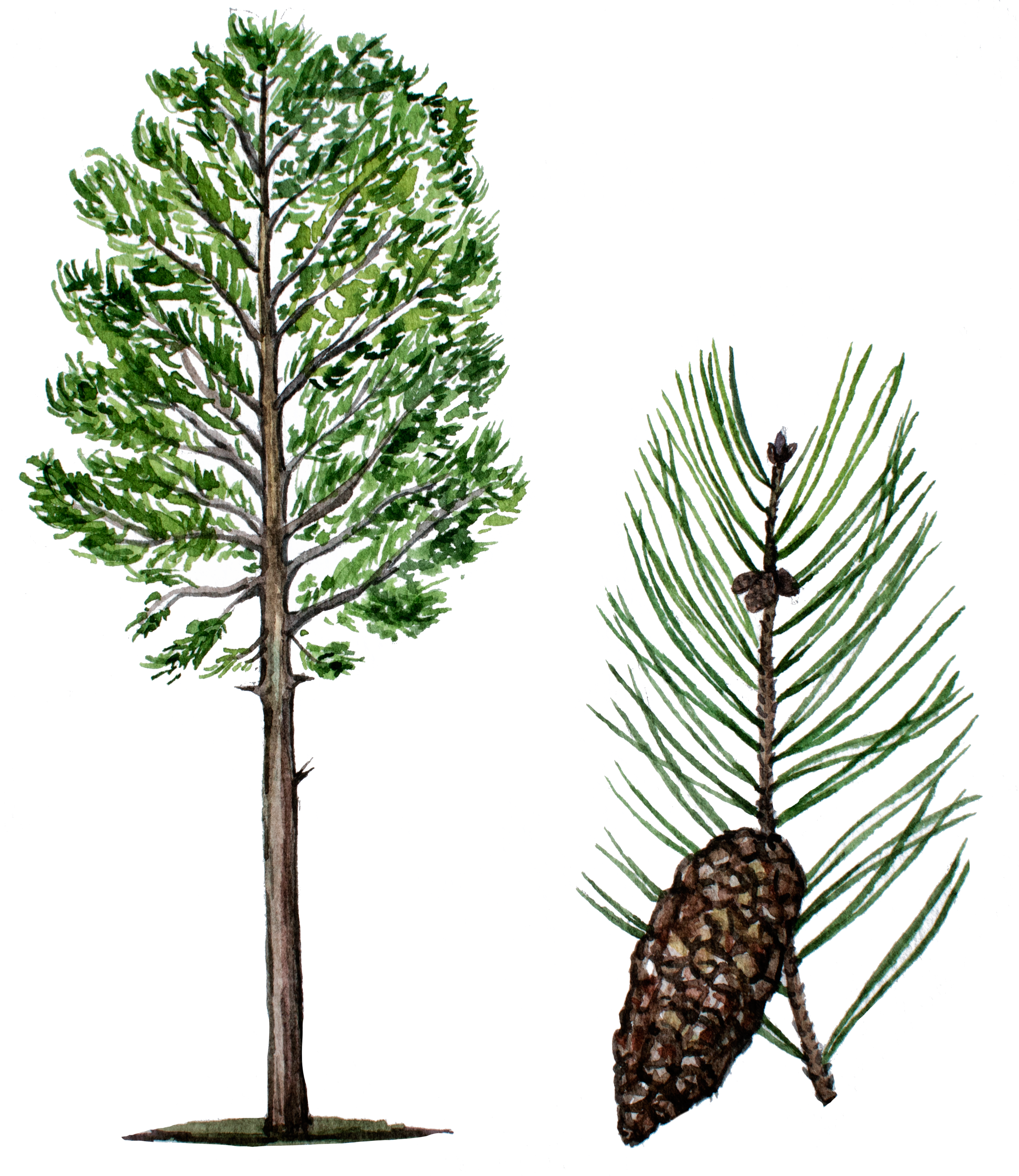 French Maritime Pine Bark in Smart Drugs for the Best Nootropics Global Focus