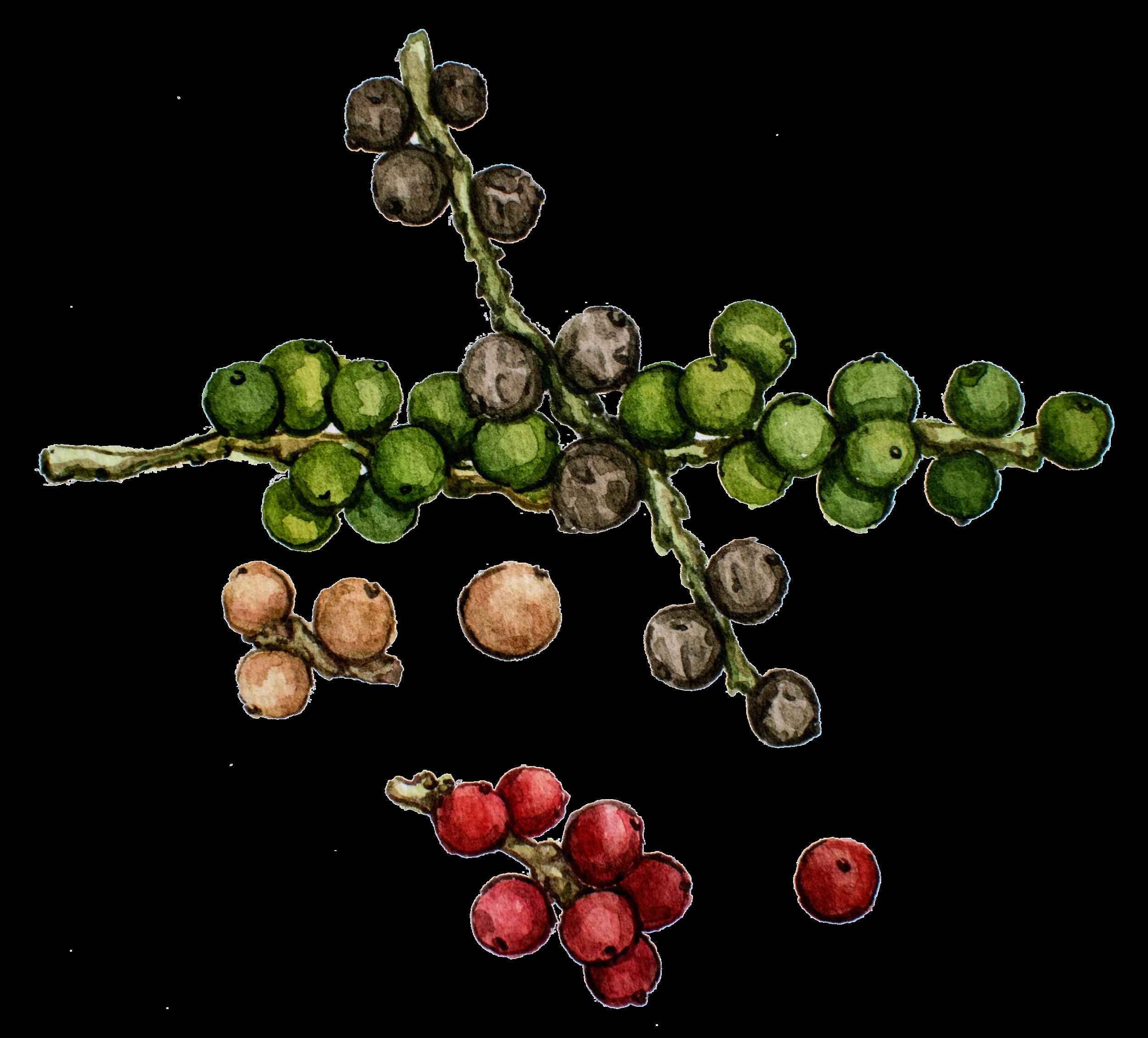Peperine in Nootropic Supplements in Earthly Biotics Global Focus