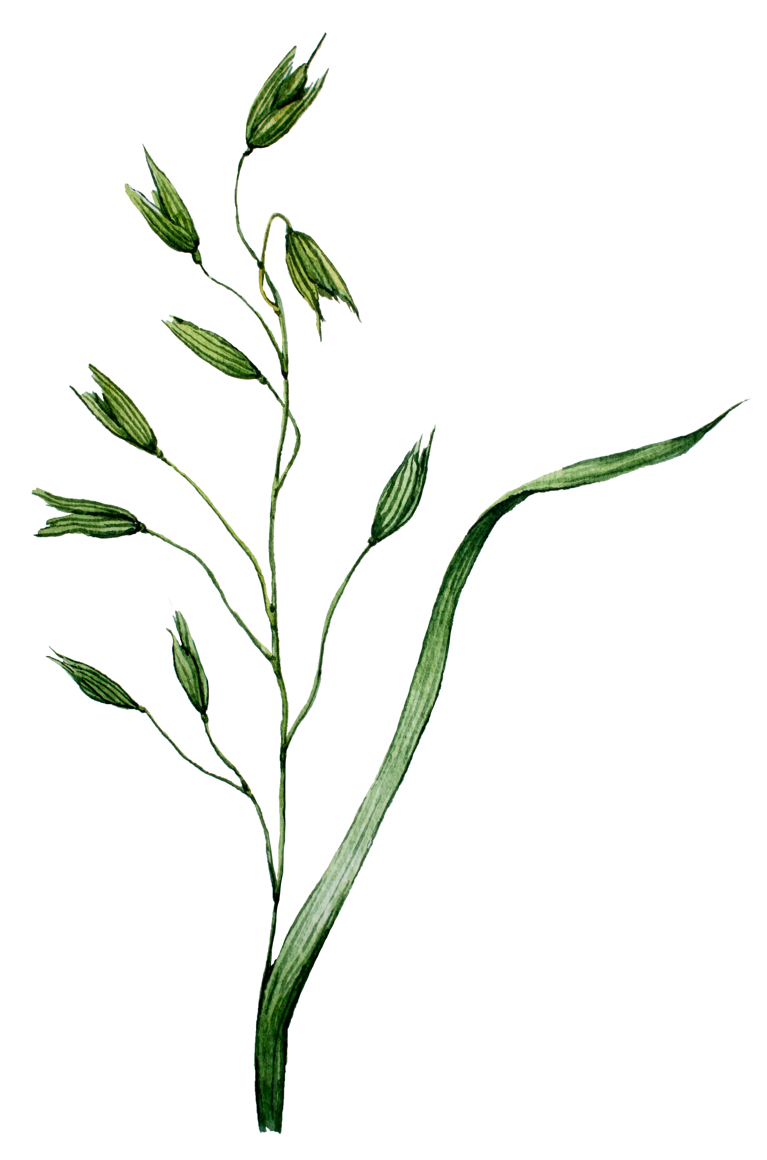 Oat Straw Avena Sativa is Best Nootropics UK from Earthly Biotics