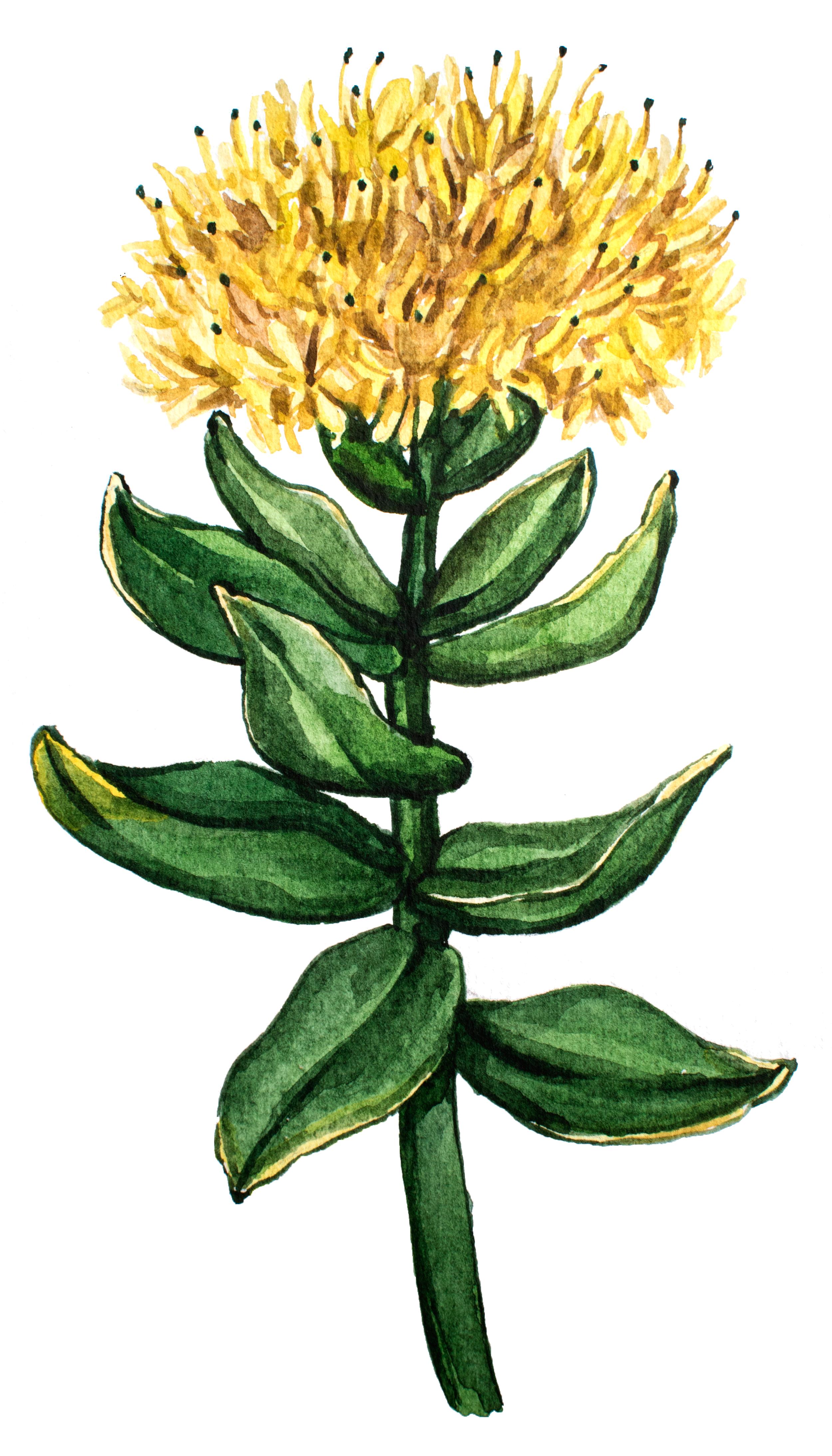 Best Nootropic Rhodiola Rosea earth grown ingredient in Global Focus Nootropic