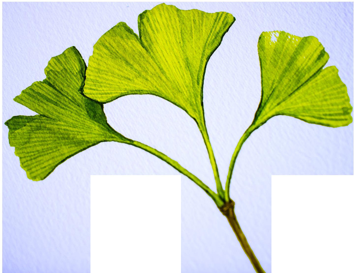 Ginkgo Biloba Best Nootropics as Earth Grown Ingredients by Earthly Biotics