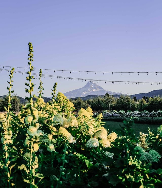 Hollyhocks, hydrangeas, string lights, and beautiful mountains. What more could you need?⁠ #weddingsintheorchard⁠ .⁠ .⁠ .⁠ .⁠ #gorgewedding #mthoodwedding #hoodriverwedding #oregonwedding #washingtonwedding #pdxwedding #seattlewedding #pnwwedding #mthood #hollyhock #hoodriver