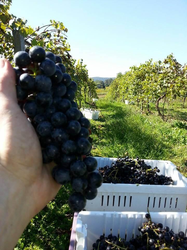 Picking the Chambourcin Sept 2013.jpg