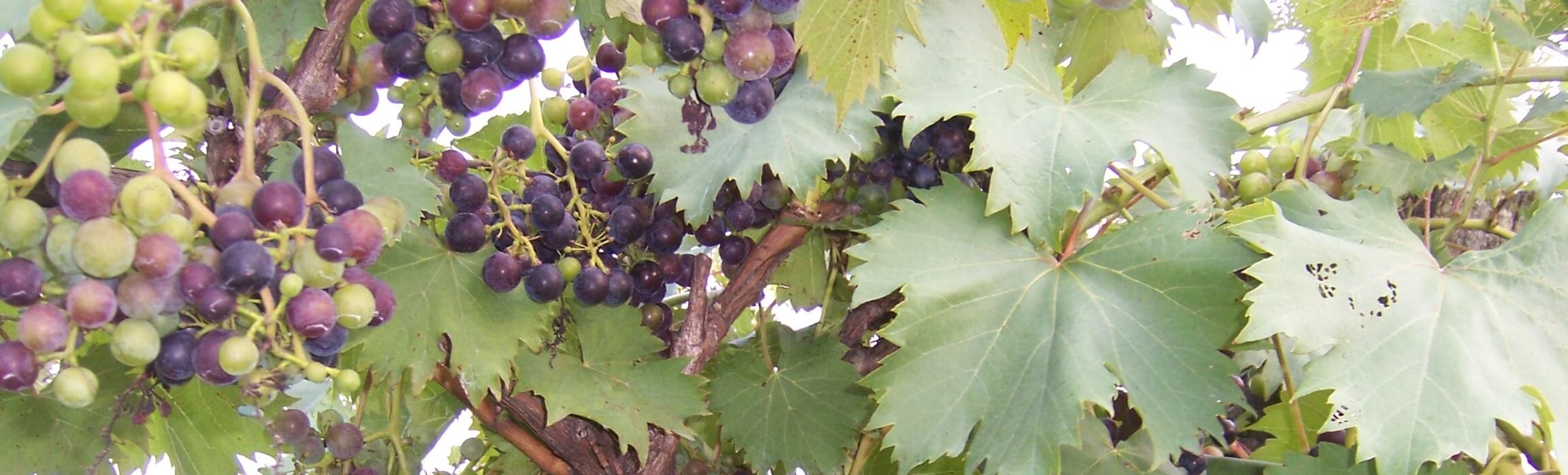 West Whitehill Grapes.JPG