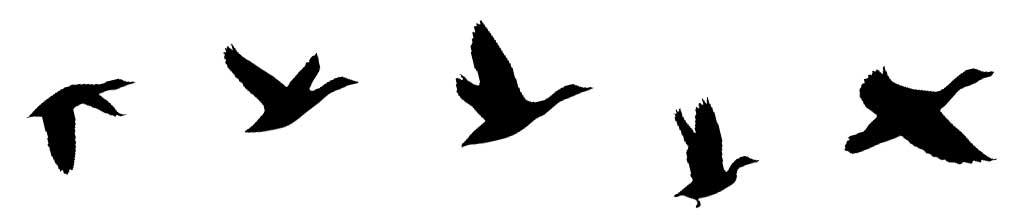 ducksflying.jpg