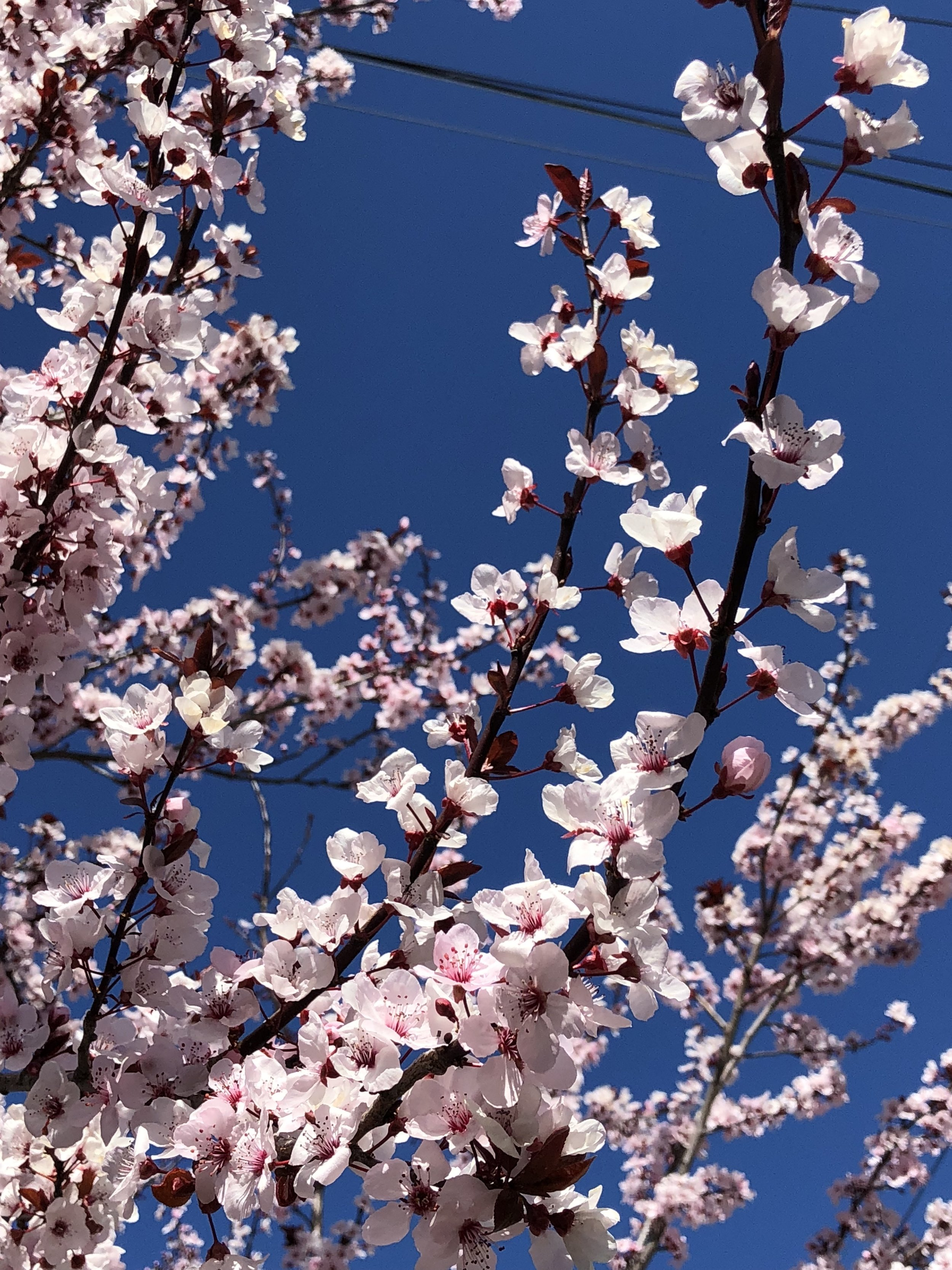 pink plum blossoms.jpg