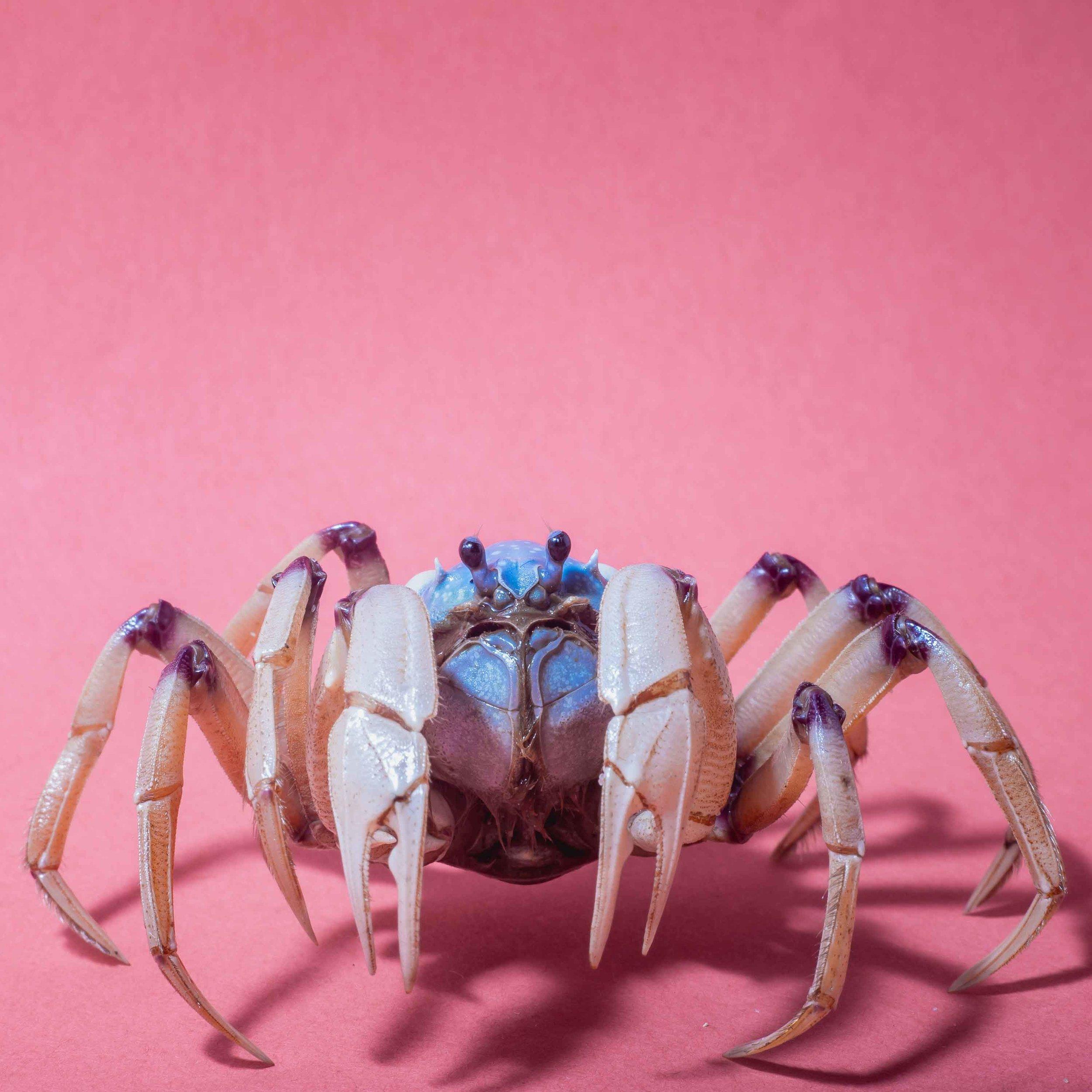 Light-Blue-Soldier-Crab.jpg