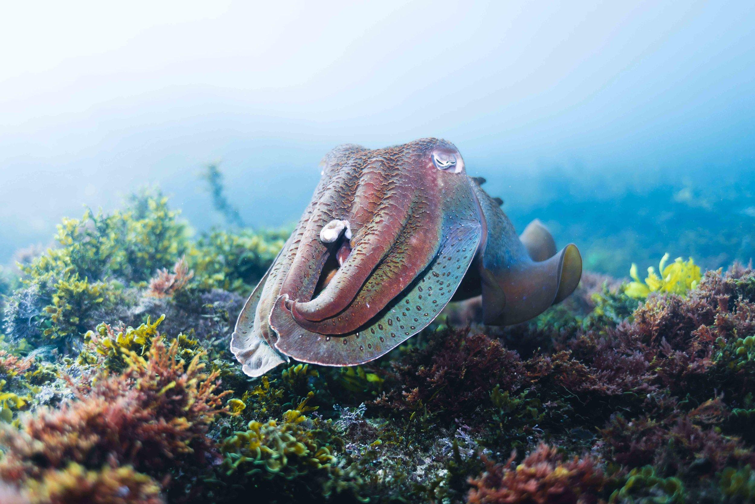 Giant-Cuttlefish.jpg