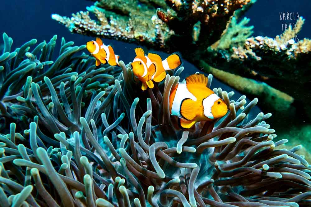 OW - Clownfish - reduced.jpg