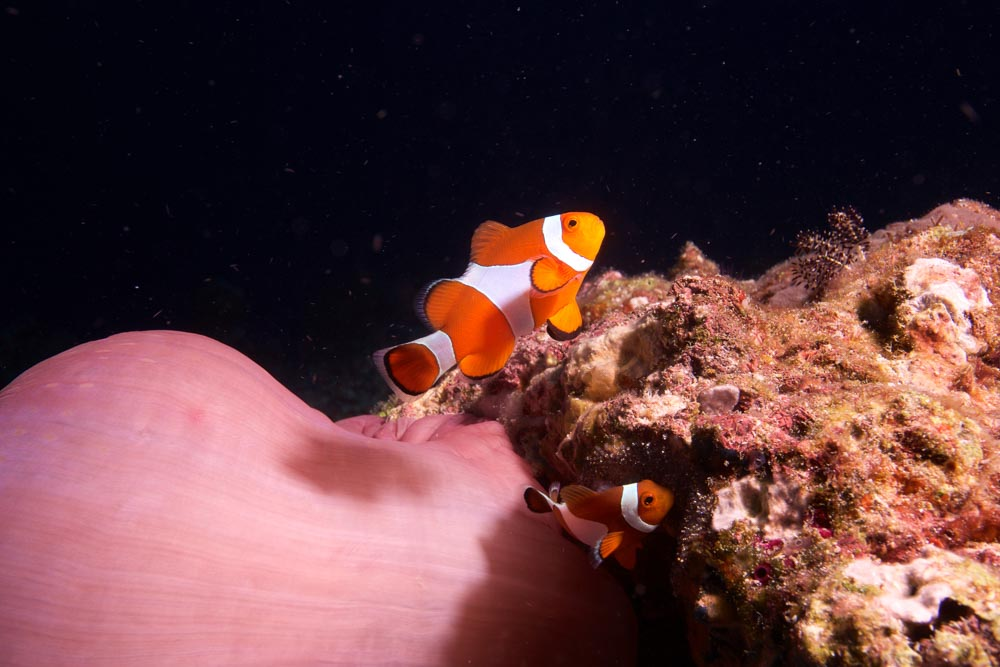 NHT - Clownfish - reduced.jpg