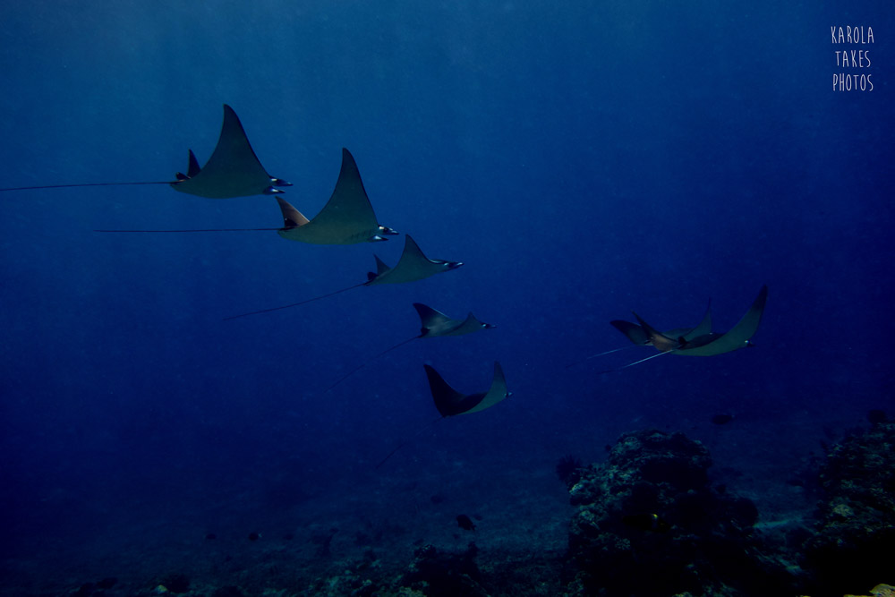 SPT - Devil Rays - reduced.jpg