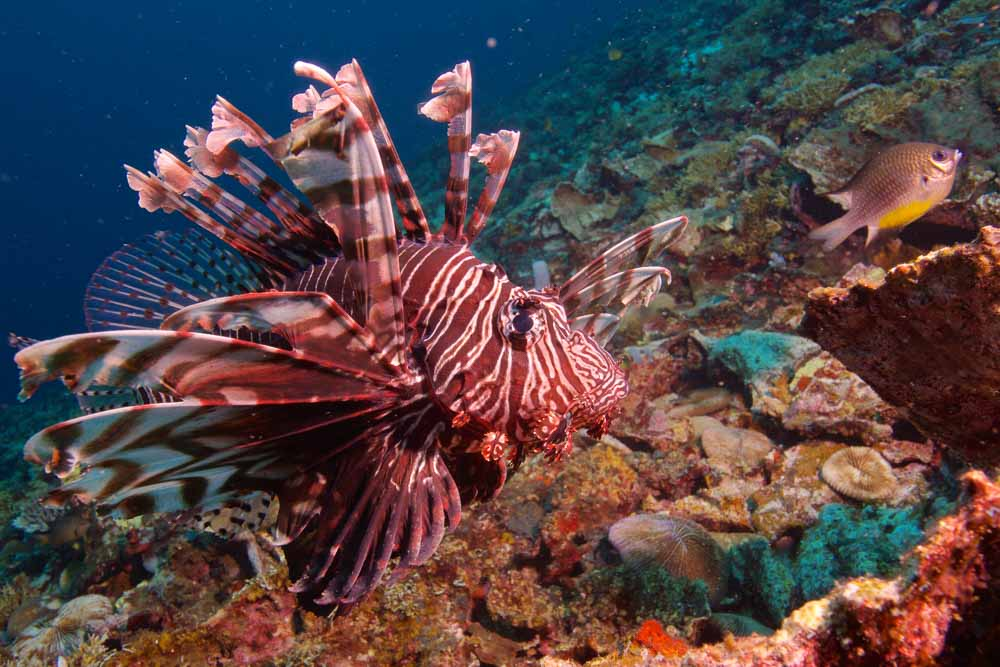 ST - Lionfish - reduced.jpg