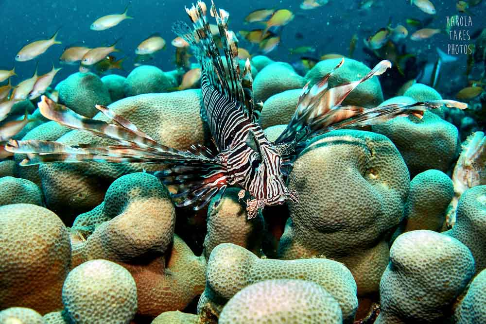 SRF - Lionfish - reduced.jpg