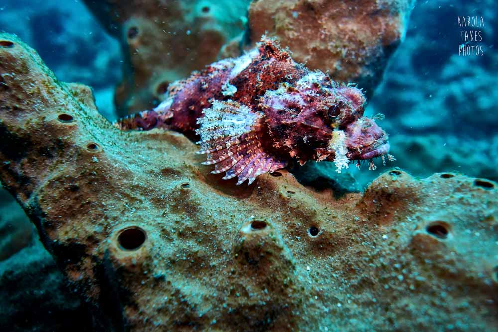 SRF - Scorpionfish - reduced.jpg