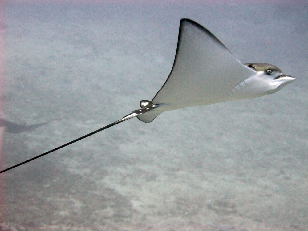 HID - Eagle Ray - reduced.jpg