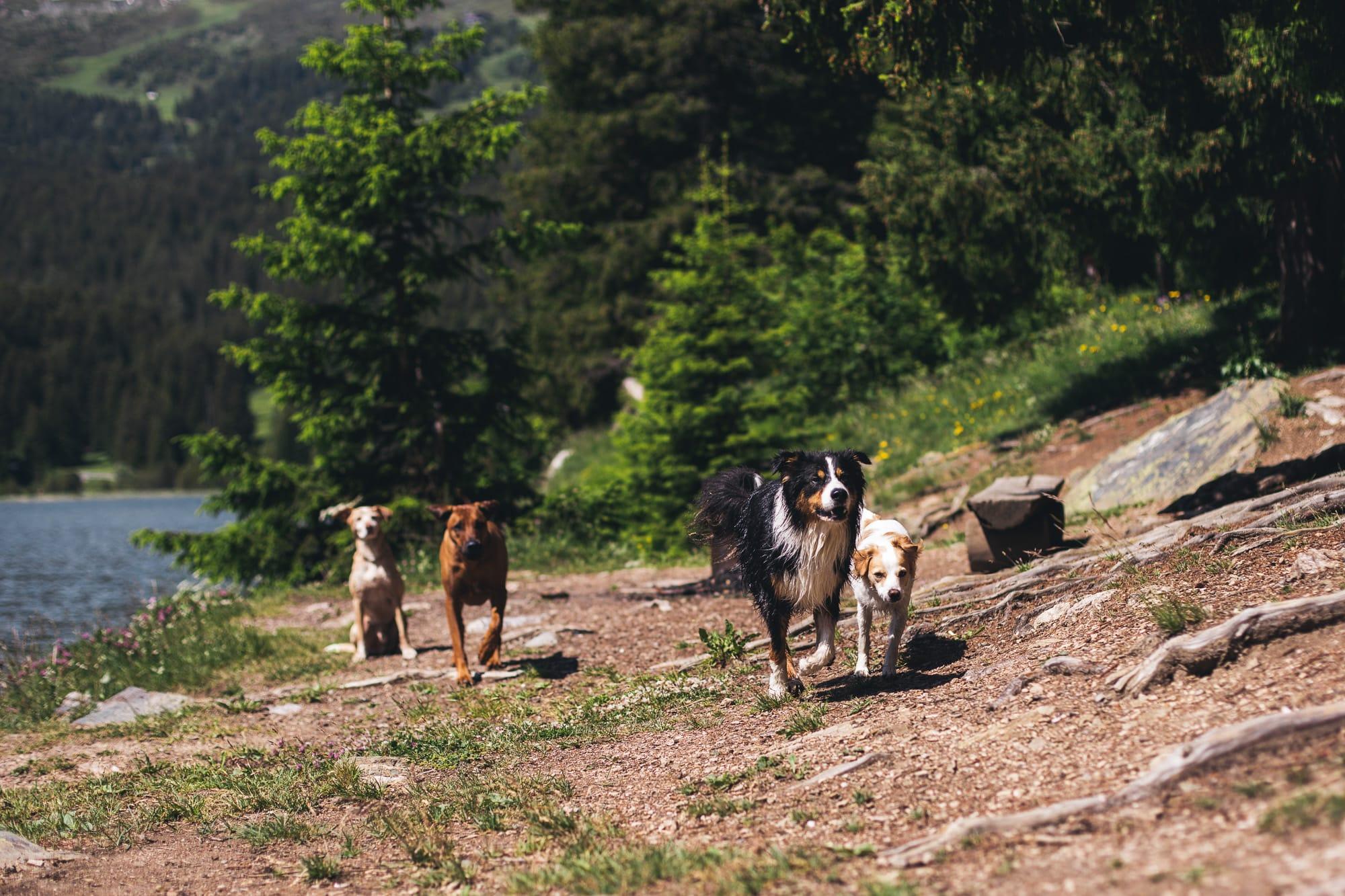 Schnauziis Hunde spielen am Heidsee