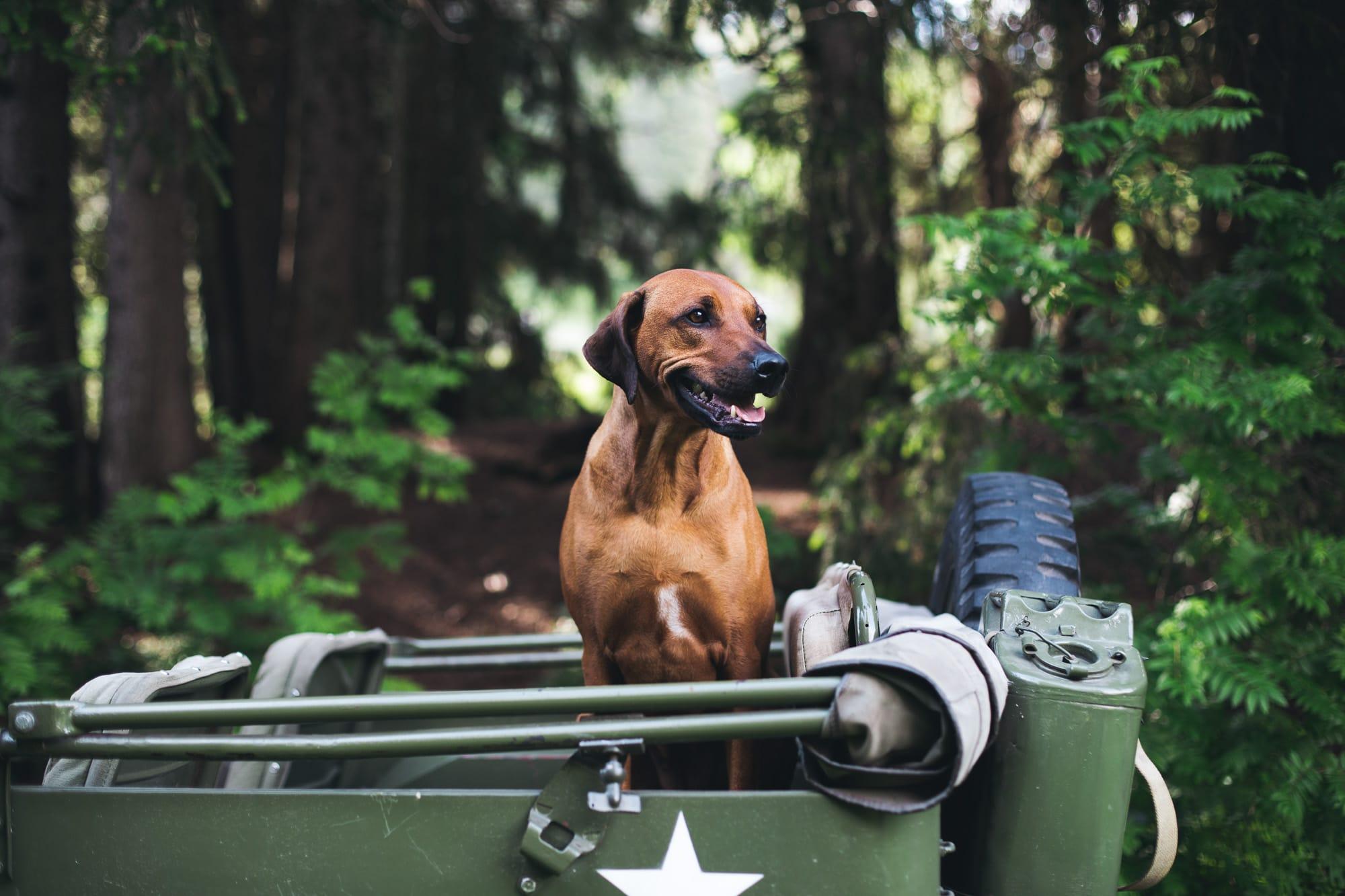 Hund sitzt auf einem Jeep