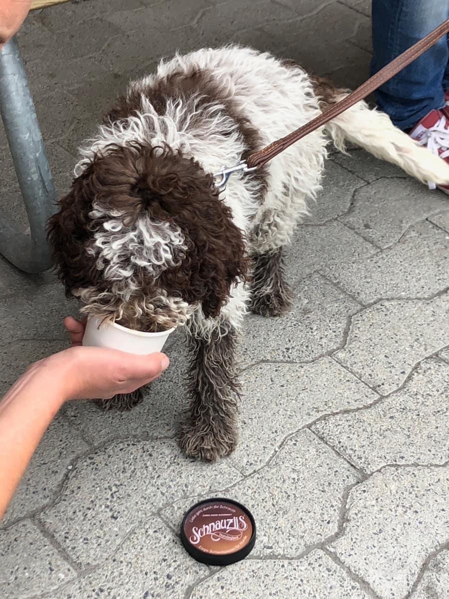 Hund schleckt Schnauziis Hundeglacé