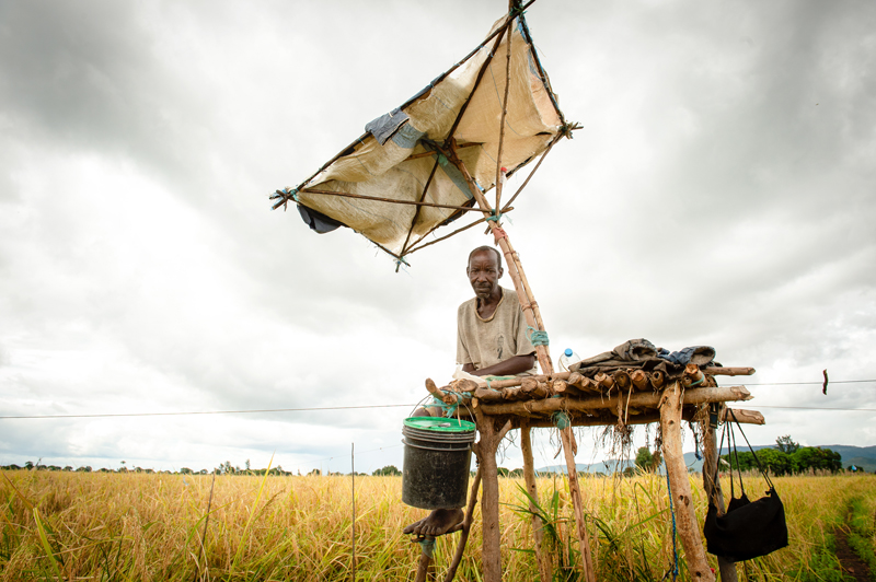 High on a chair perched a man employed at key times of the year, such as harvest, to work as a human scarecrow. -