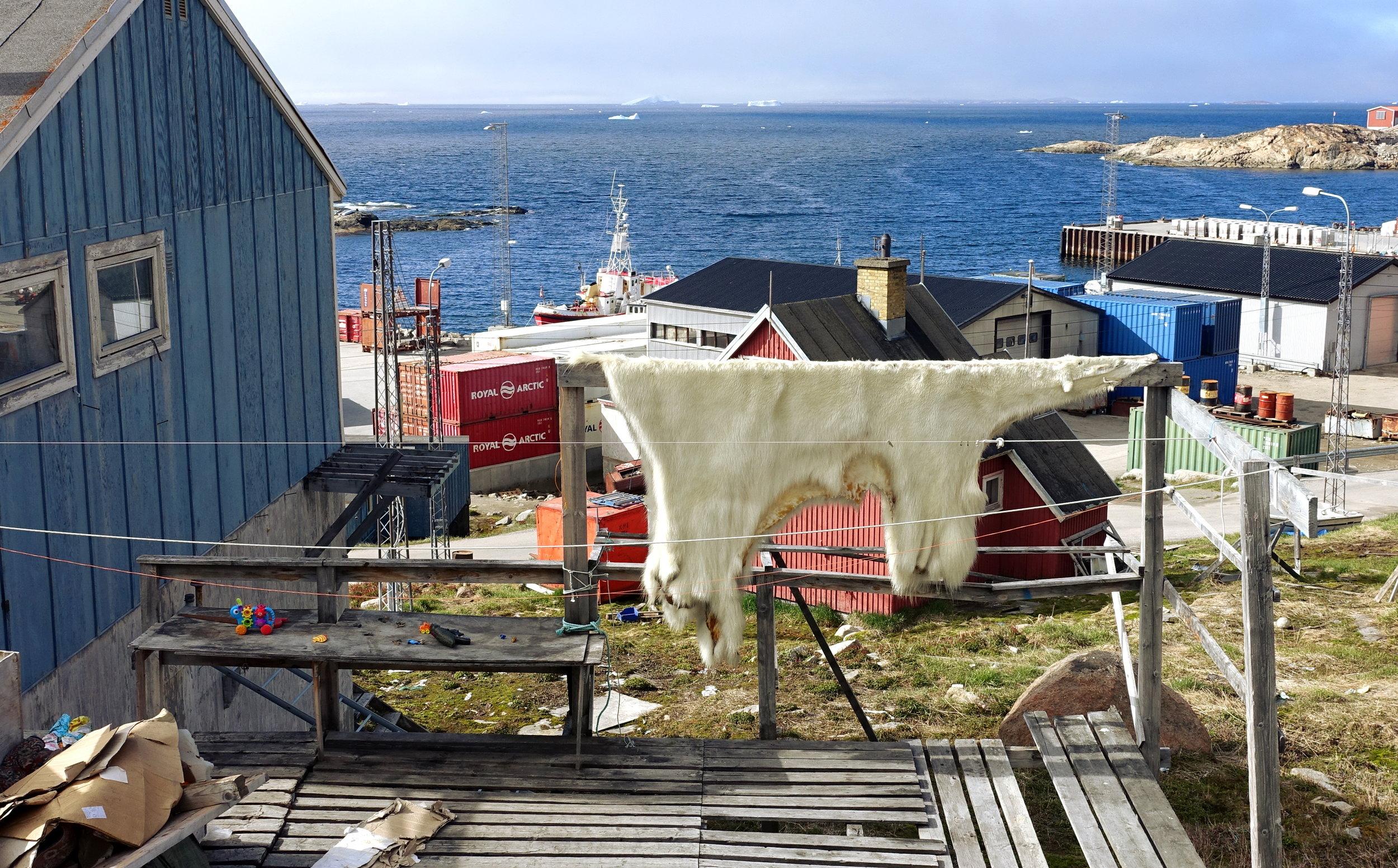 A fresh polar bear pelt drying in Upernavik (ph J Cook)