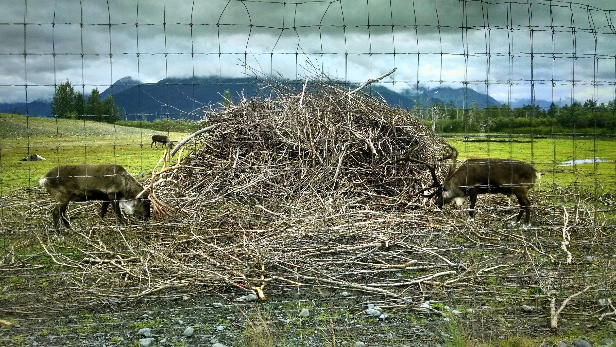 Alaska Wildlife Conservation Center - Caribou
