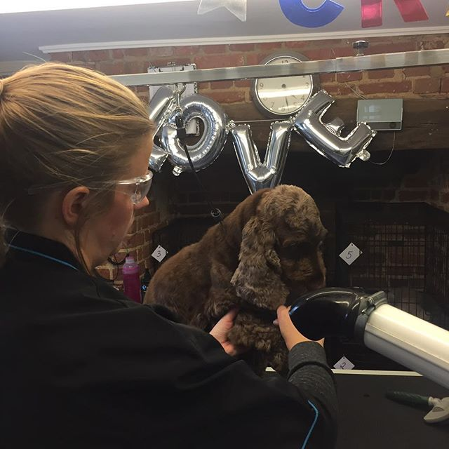 Claire was a natural groomer! Here she is drying and brushing out Leo! she's just finished her one day taster course with us, if you feel you have always wanted to try dog grooming, a one day taster course is an ideal opportunity to test it out! Come along for a day! #onedaycourse #doggroomer #rascalsofwoburngroomingacademy
