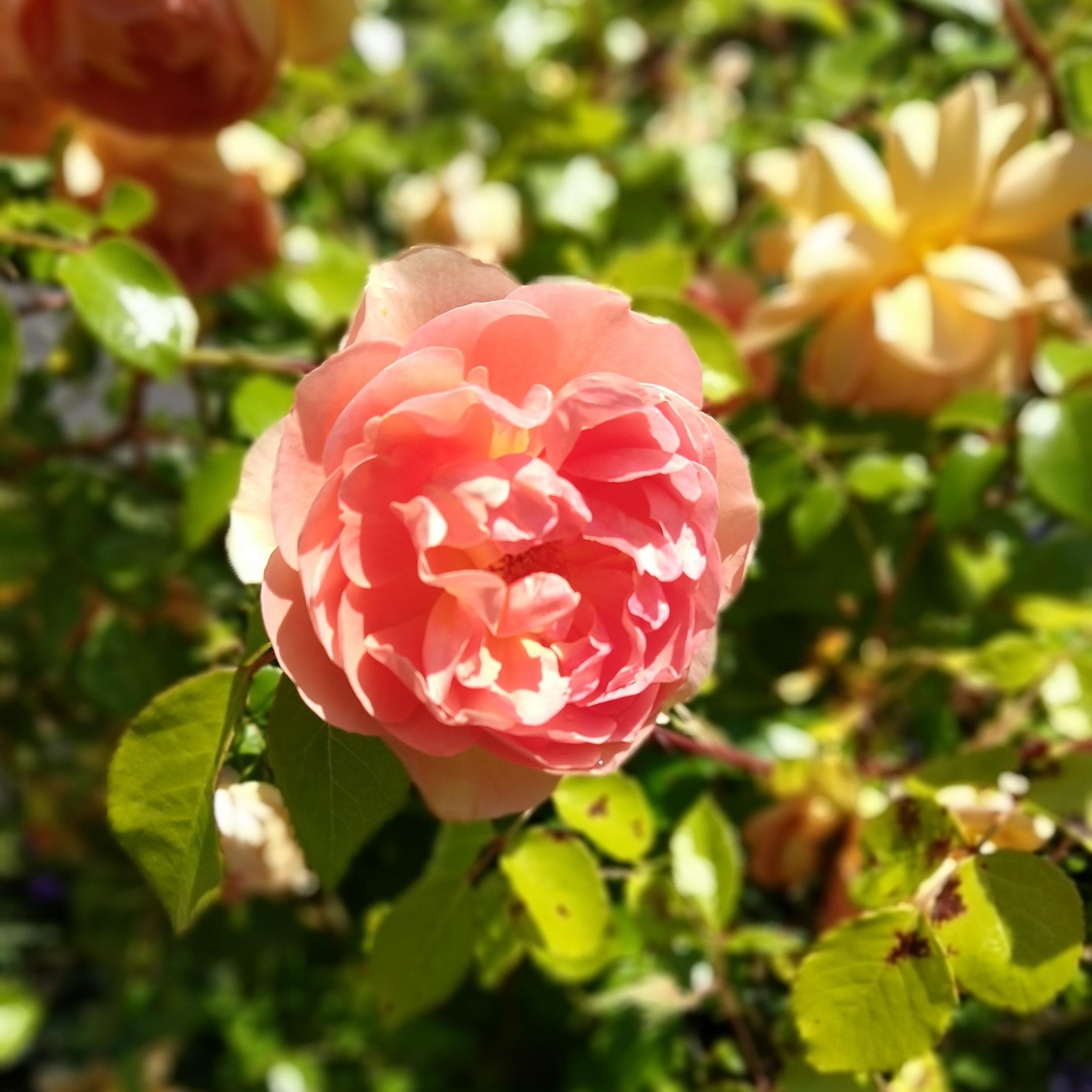 A rose in my neighborhood, photo taken 5.23.19