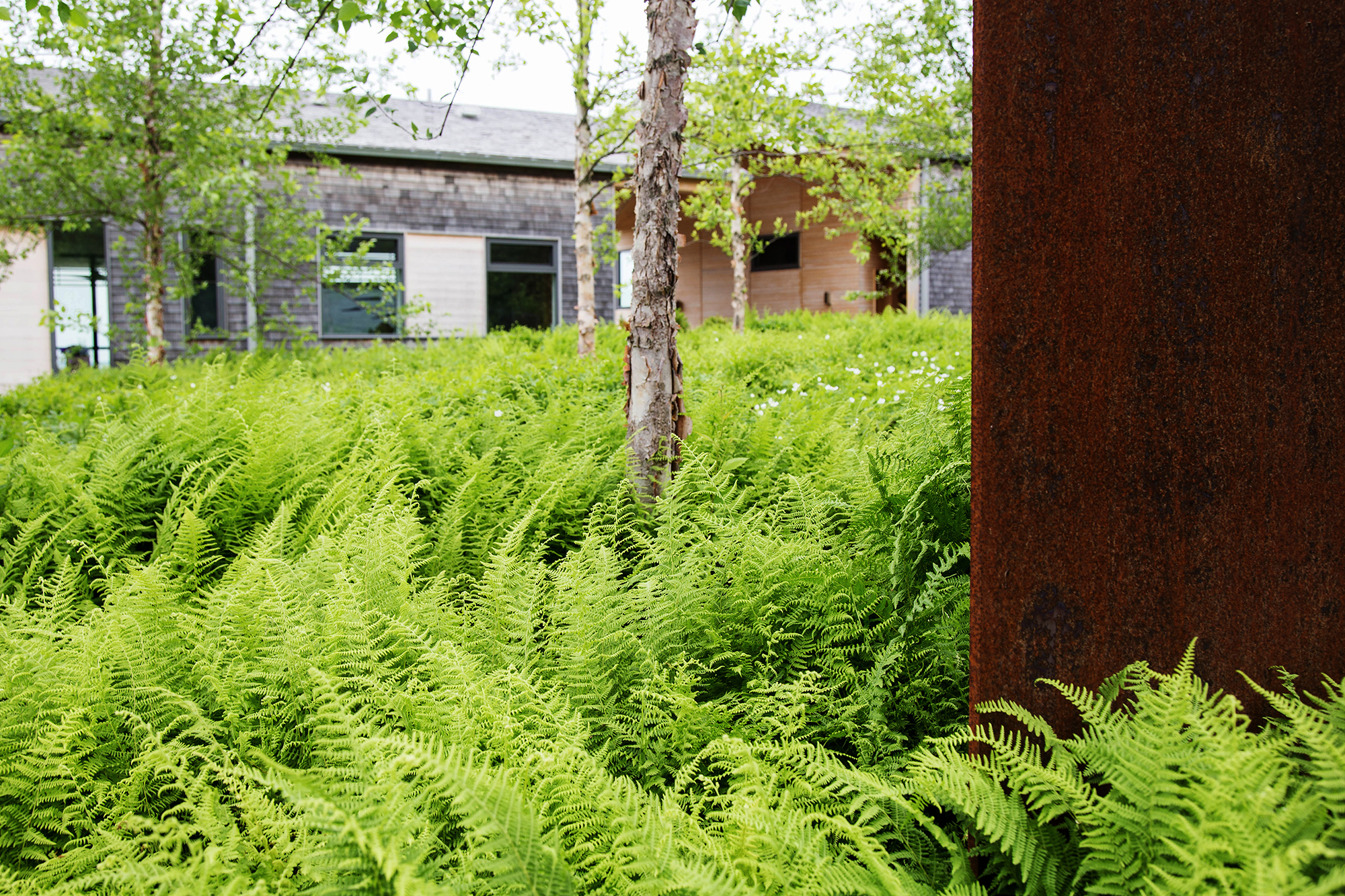 Hayscented Fern   Cove House