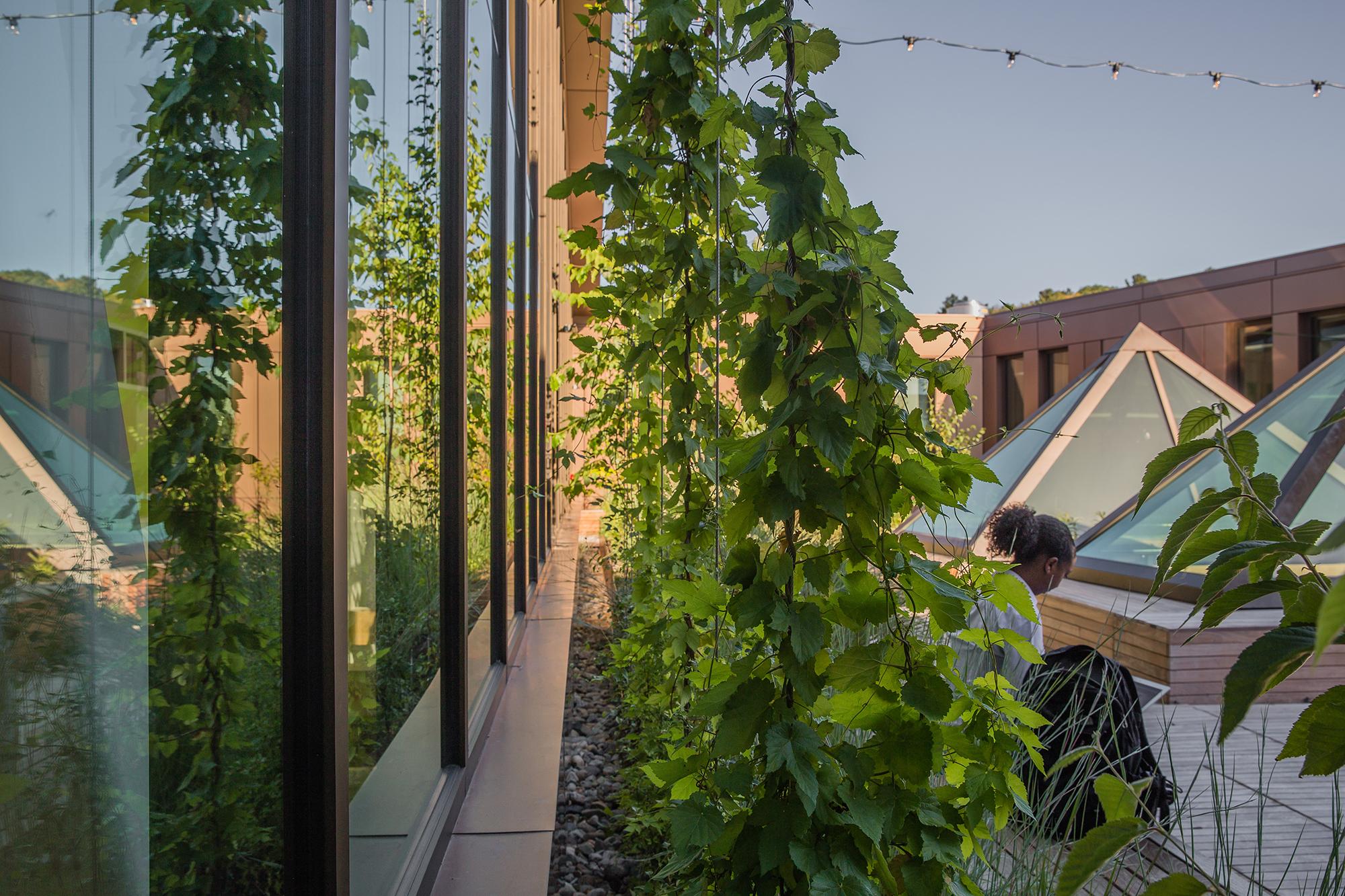 Hop Vines  UMass Design Building Amherst, MA