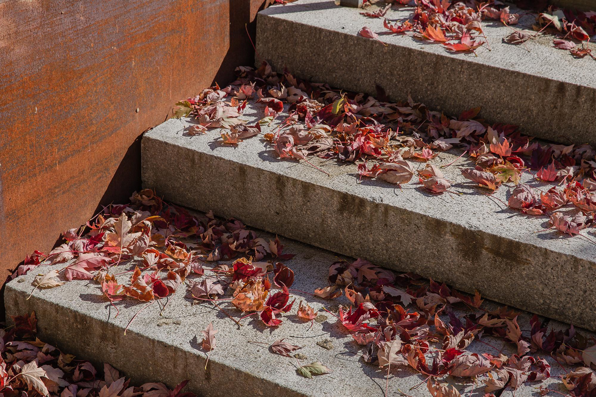 Maple Leaves  UMass Southwest Concourse Amherst, MA