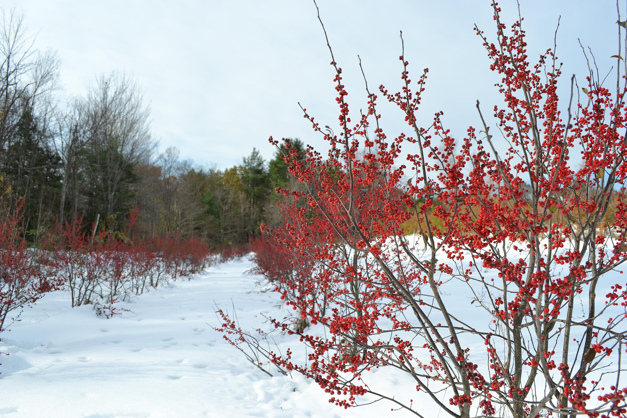 winterberry-2.jpg