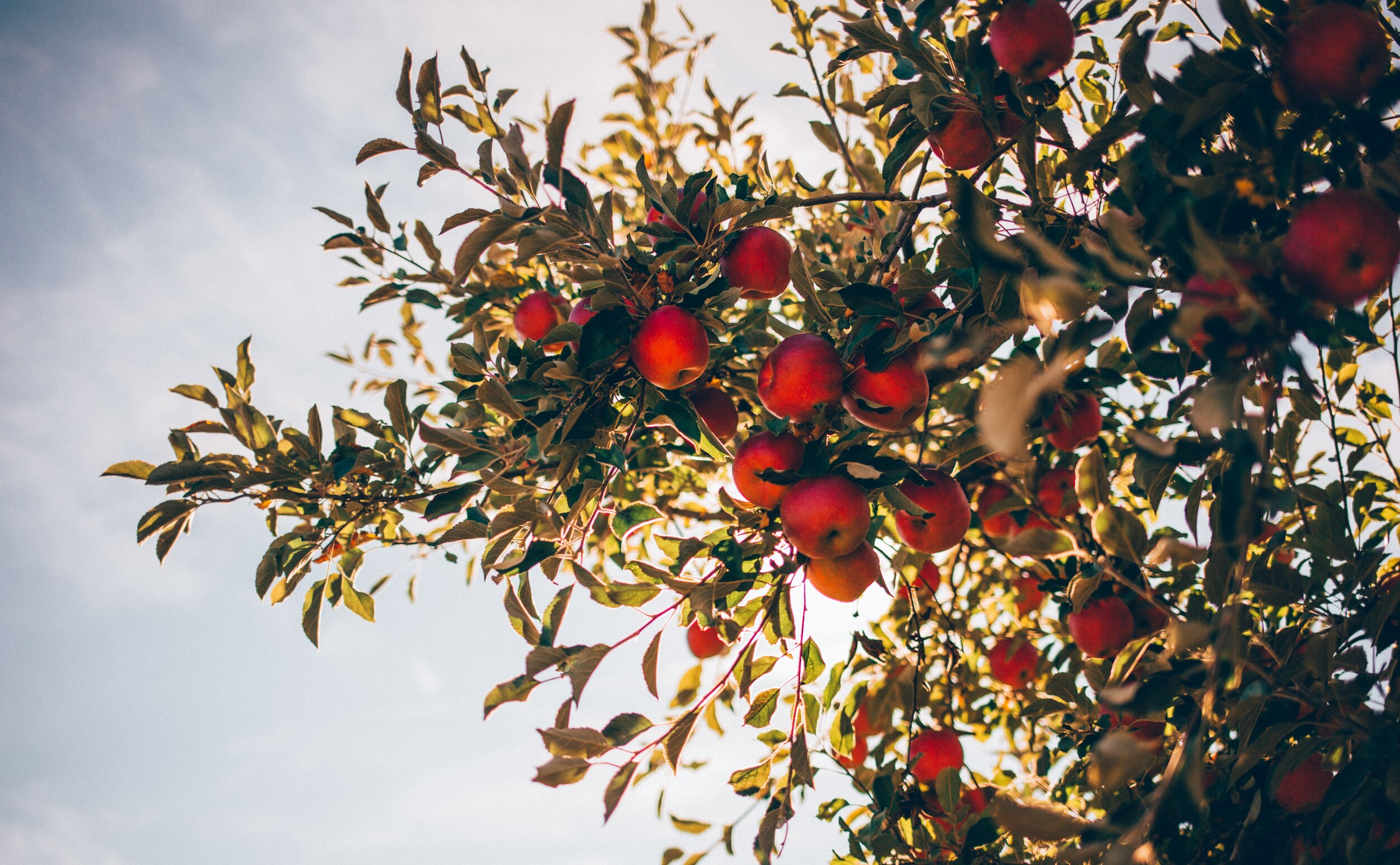 Apple Picking! - New Date: Sunday, Oct 20. Guta is organizing the New Amsterdam Family Outing Club's first adventure out of the city on October 20. Stay tuned for more details.