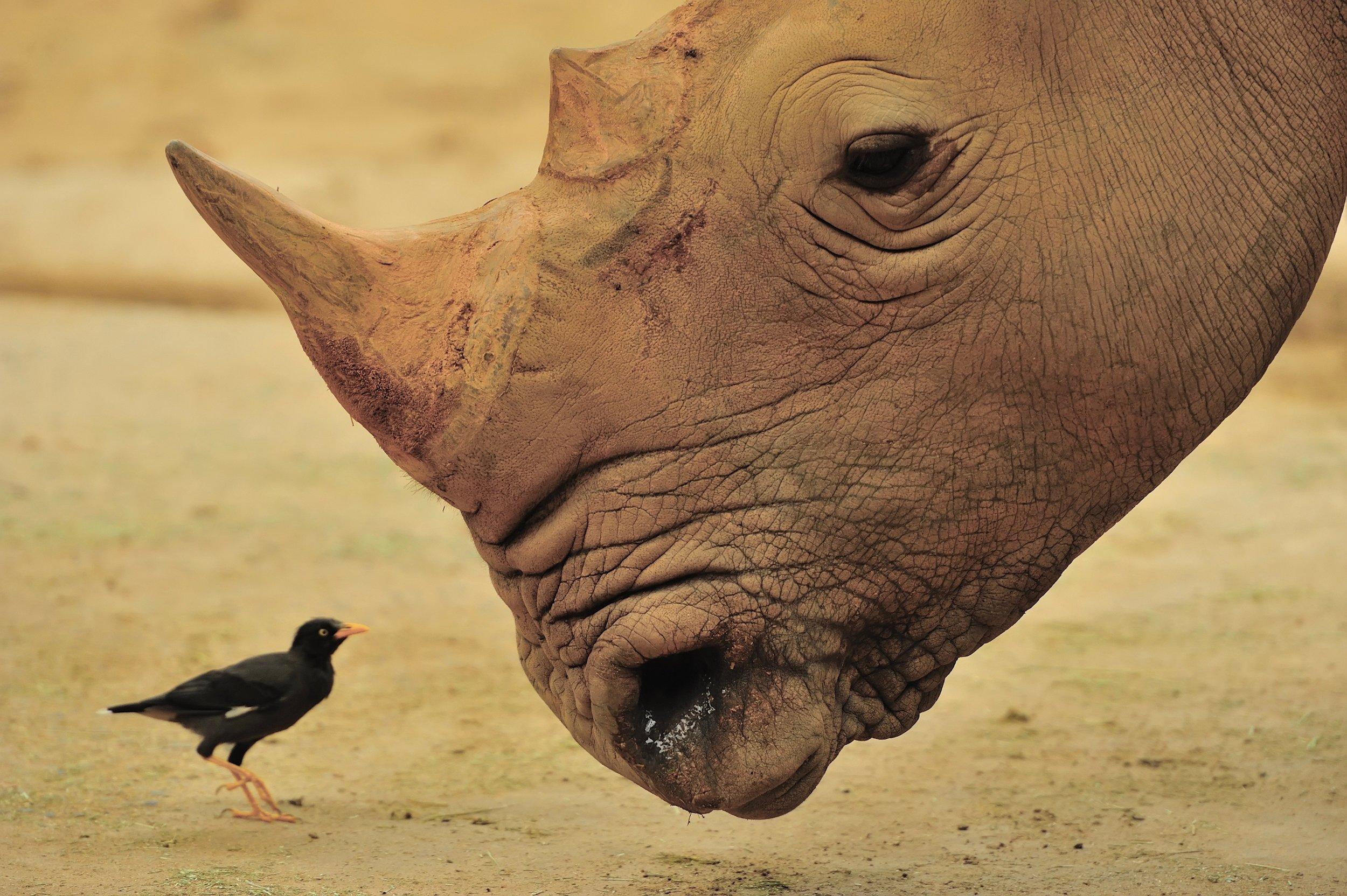 Husk of Rhino, Kessinger.jpg