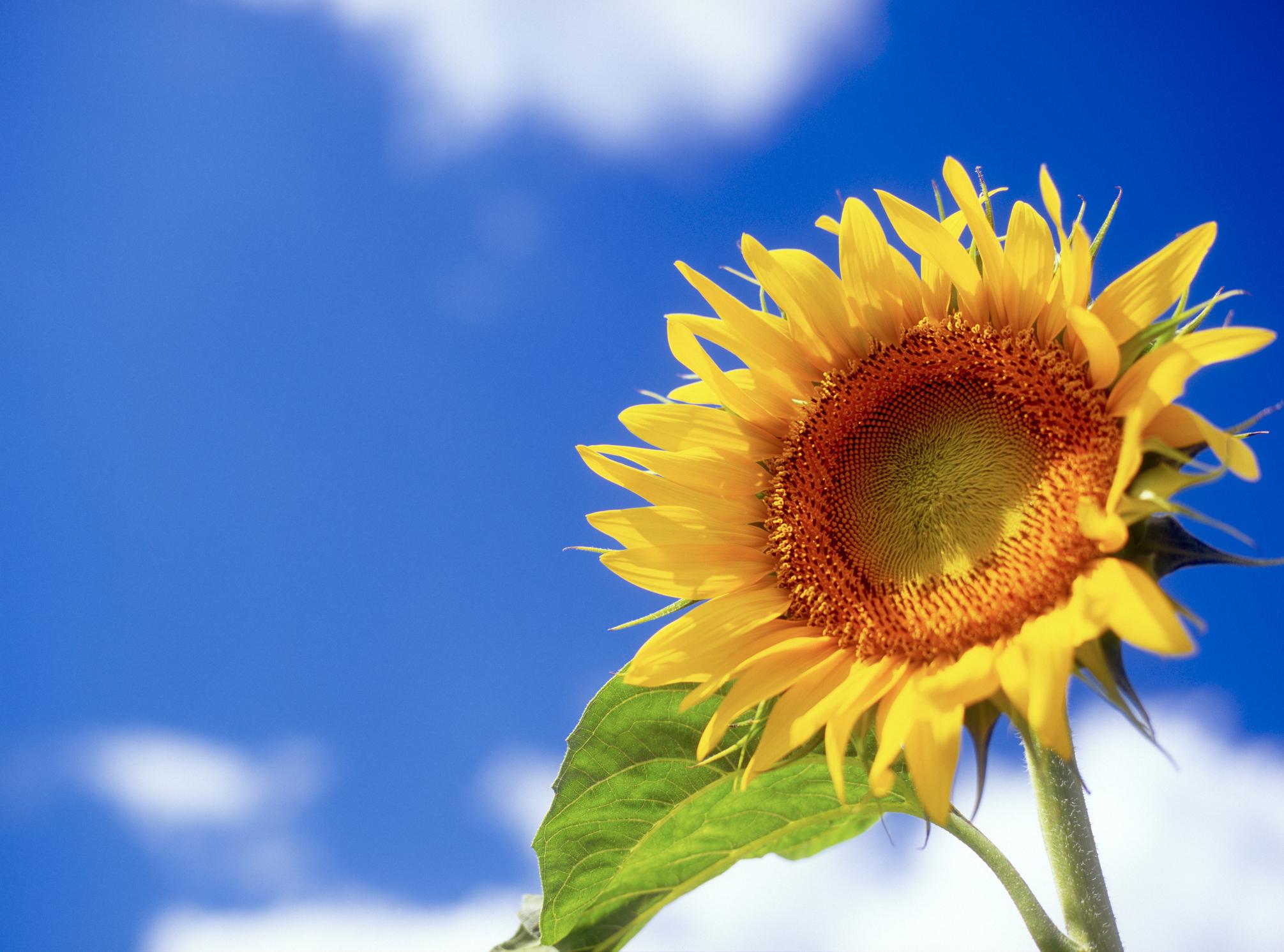 The Sunflower Girl.jpg