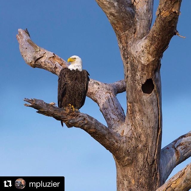 Happy Memorial Day Weekend! 🦅 bald eagle before dusk in Florida. 📷:@mpluzier