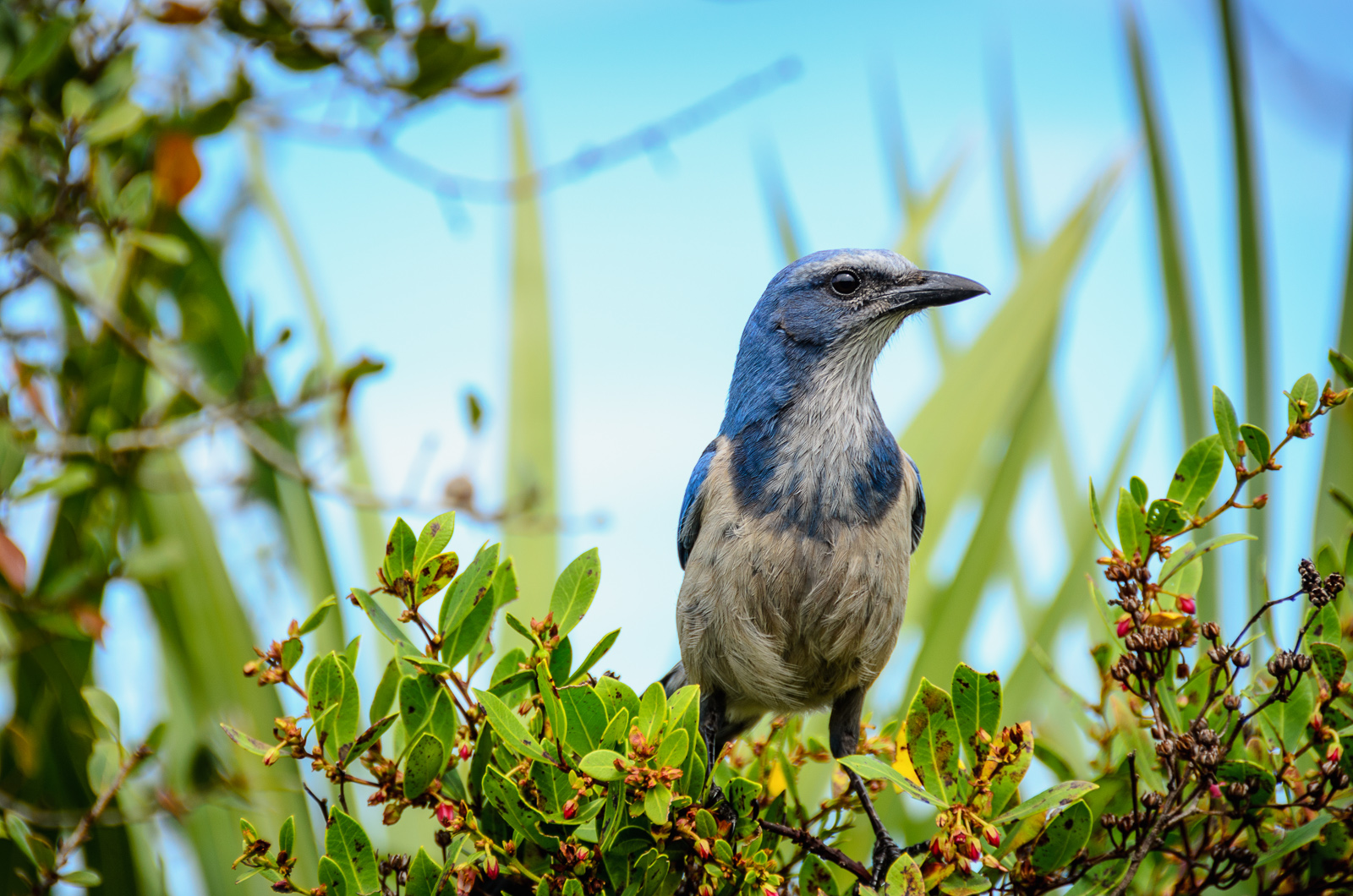 Conservation Florida's vision is a Florida where protected lands support healthy populations of native plants and wildlife, like the Florida Scrub Jay pictured above. Photo by Chuck Palmer