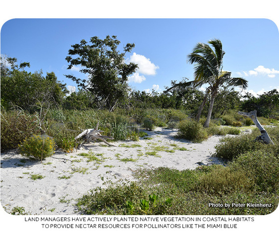 Land managers have actively planted native vegetation in coastal habitats to provide nectar resources for pollinators like the Miami blue. Photo by Peter Kleinhenz.