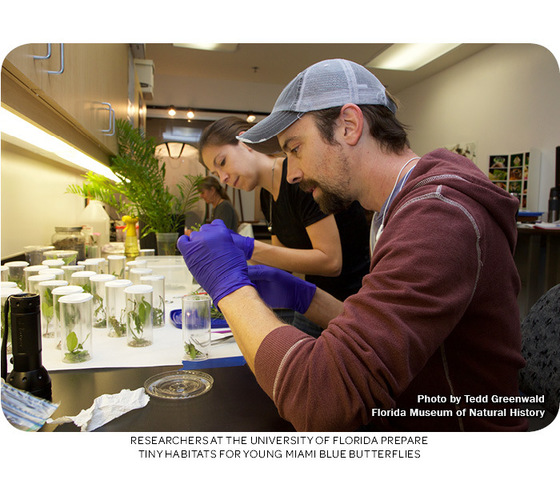 Researchers at the University of Florida prepare tiny habitats for young Miami blue butterflies. Photo by Tedd Greenwald.