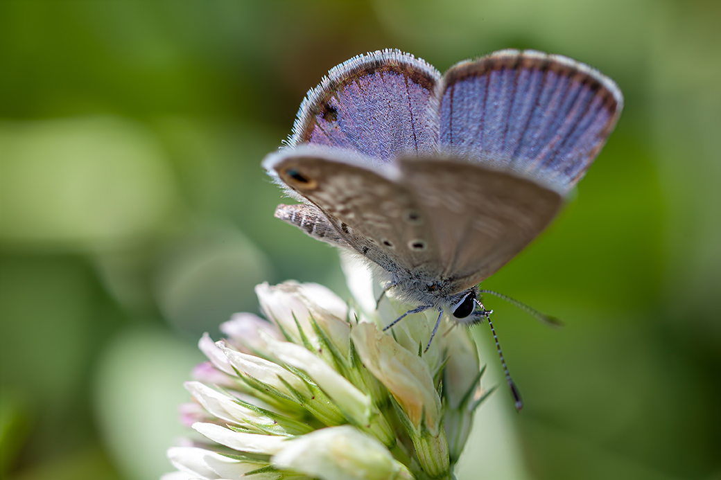 Miami Blue butterfly - low res.jpg
