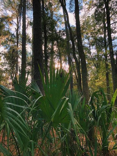 Saw Palmetto: Photo by Sarah Liu. Saw palmetto fronds reach towards the sky on a Florida Trail.