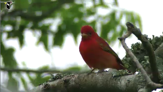 Listen to audio clip of male tanager.   See a short video of a male tanager.