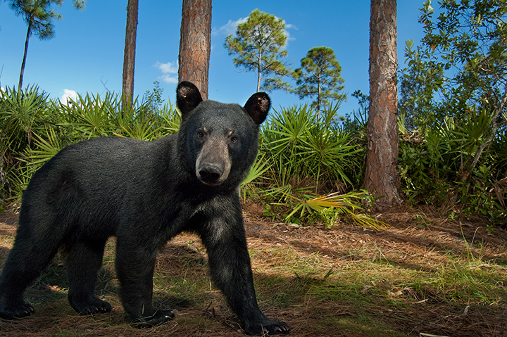 A rare Florida black bear ventures beyond the shrubs. Photo by Carlton Ward, Jr. (A National Geographic photographer)