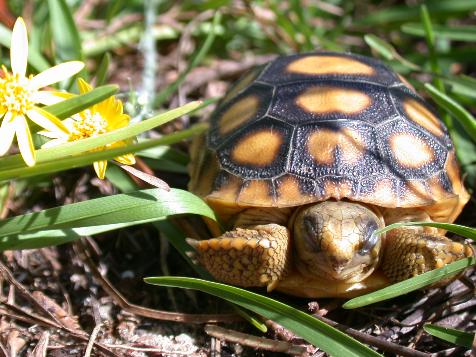A young gopher tortoise. Photo by FWC.